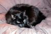 Jack_the_black_cat_1